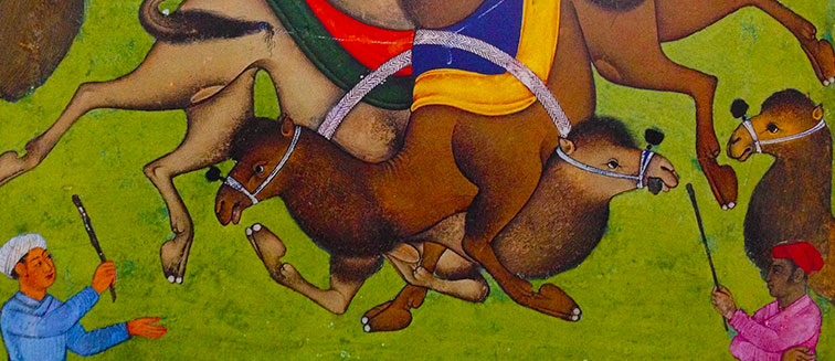 Camel Fight Festival